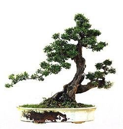 Lingnan Bonsai
