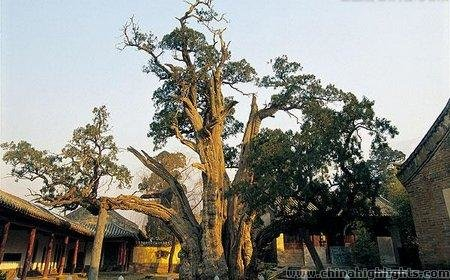 The General Cypress in Songyang Academy