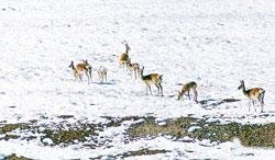Tibetan antelopes graze in the snow-covered grassland