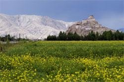 Rape Flowers outside Gyantze in Tibet