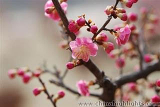 Nanjing International Plum Blossom Festival