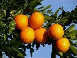 China Citrus Cultural Festival
