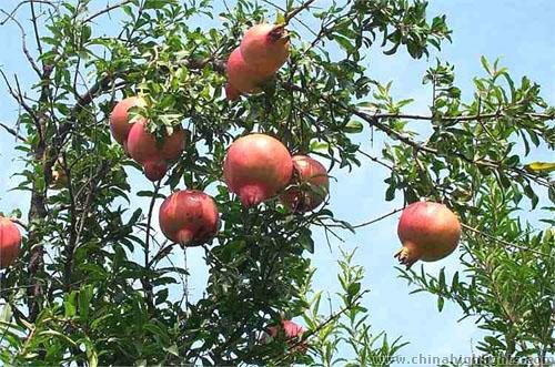 Xian Lintong Pomegranate Festival