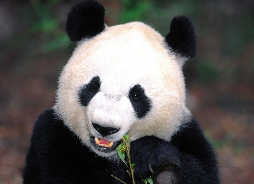 Panda in Chongqing