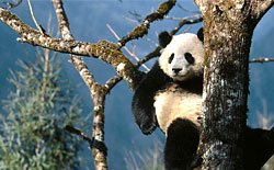 Bifendxia Giant Panda Base of Chengdu is the largest panda base in the world