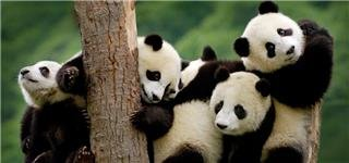 Giant Pandas in Chengdu Sichuan
