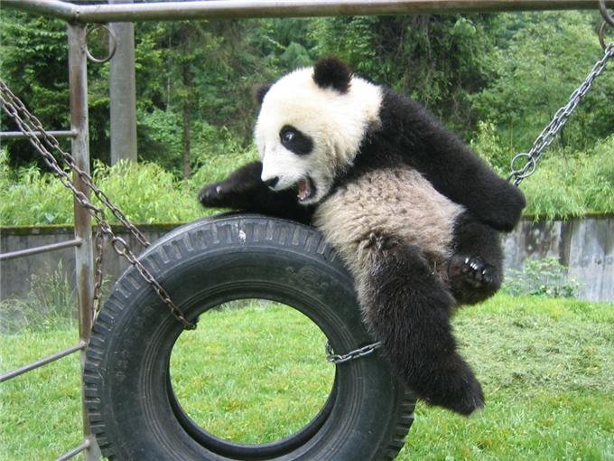 Giant Panda Cubs Playing Three New Panda...