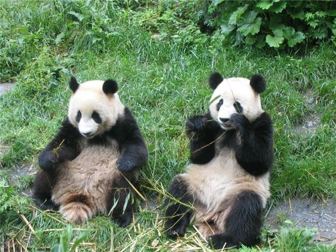 碧峰峡熊猫基地 (1)