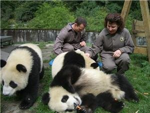 How China Protects Giant Pandas — Pandas Now NOT Endangered!