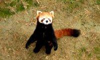 lesser panda in seven star park