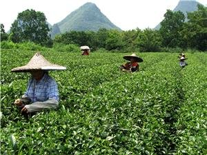 Chinese Tea, Discover Chinese Tea Culture and History
