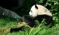 giant panda in chongqing zoo