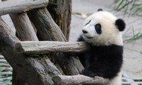 giant panda chongqing zoo