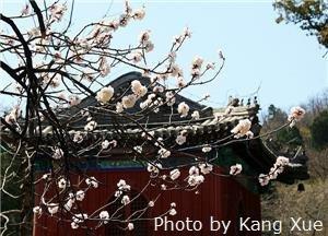 dajue temple Magnolias