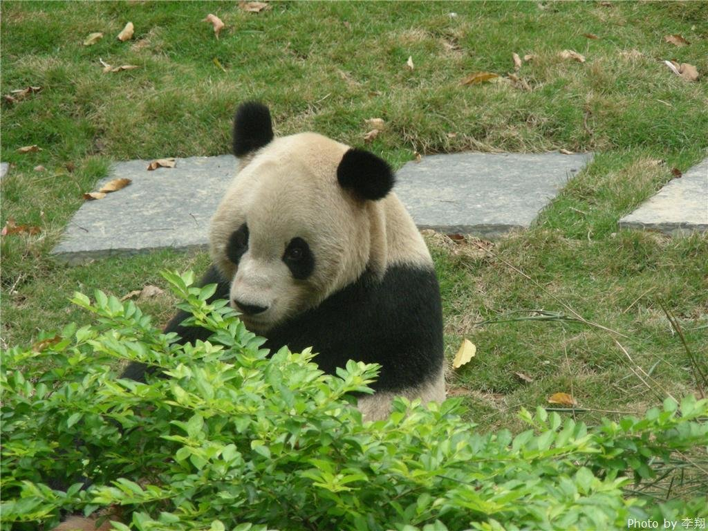 Giant panda in Seven Star Park