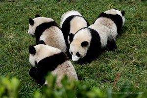 the giant pandas in Chengdu