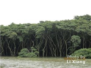 mangrove forest in dongzhai port