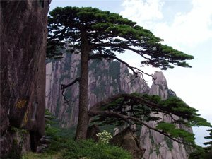 Oddly-Shaped Pines of the Yellow Mountains