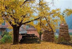 Enjoy a Lemon-Yellow Autumn in Shanghai