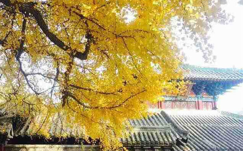 6 Top Places in Beijing to see Golden Ginkgoes