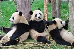 panda breeding and research center