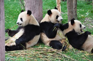 wild panda eat bamboo and others