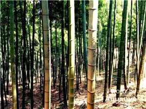 Anji's Bamboo Forests