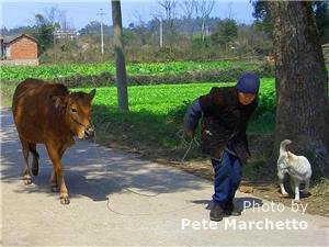 Guangxi road and cow herd