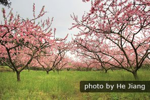 See  peach blossoms in Shanghai in April