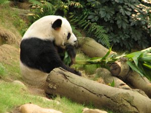 panda in hong kong
