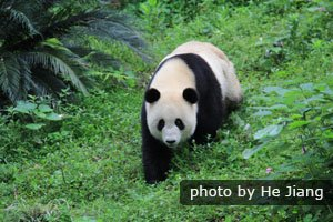 giant panda likes being alone