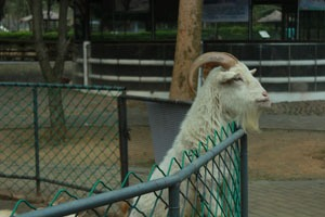 Goat at Seven Star Park Zoo