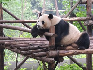 Giant Panda Breeding and Research Base in Chengdu