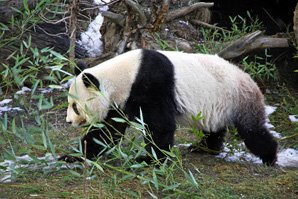 wild giant panda at foping nature reserve