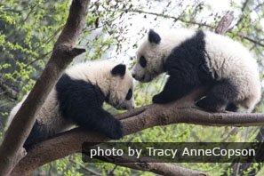 Chengdu's amazing giant pandas