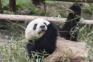 Wolong Panda Research Center — Native Panda Habitat