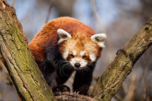 Red pandas are not members of the bear family
