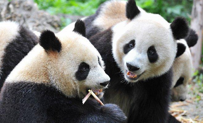 Gian Panda, Chengdu