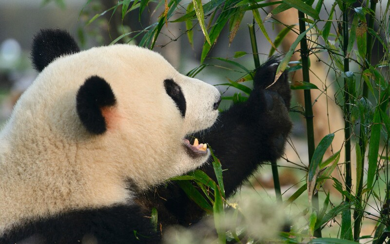 How China Protects Giant Pandas - Pandas Now NOT Endangered!