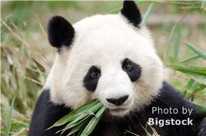 Giant panda, Beijing Zoo