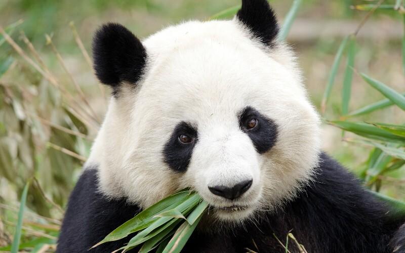 Wolong National Nature Reserve (Wolong Panda Center),  a Wild Panda Reserve