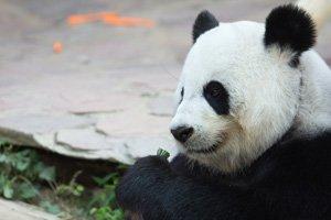 Ten Interesting Facts about Giant Pandas