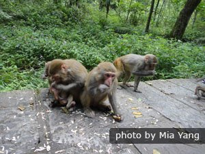 The monkeys in Zhangjiajie National Forest Park