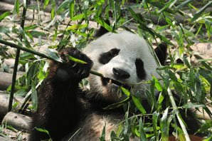 A panda is eating arrow bamboo