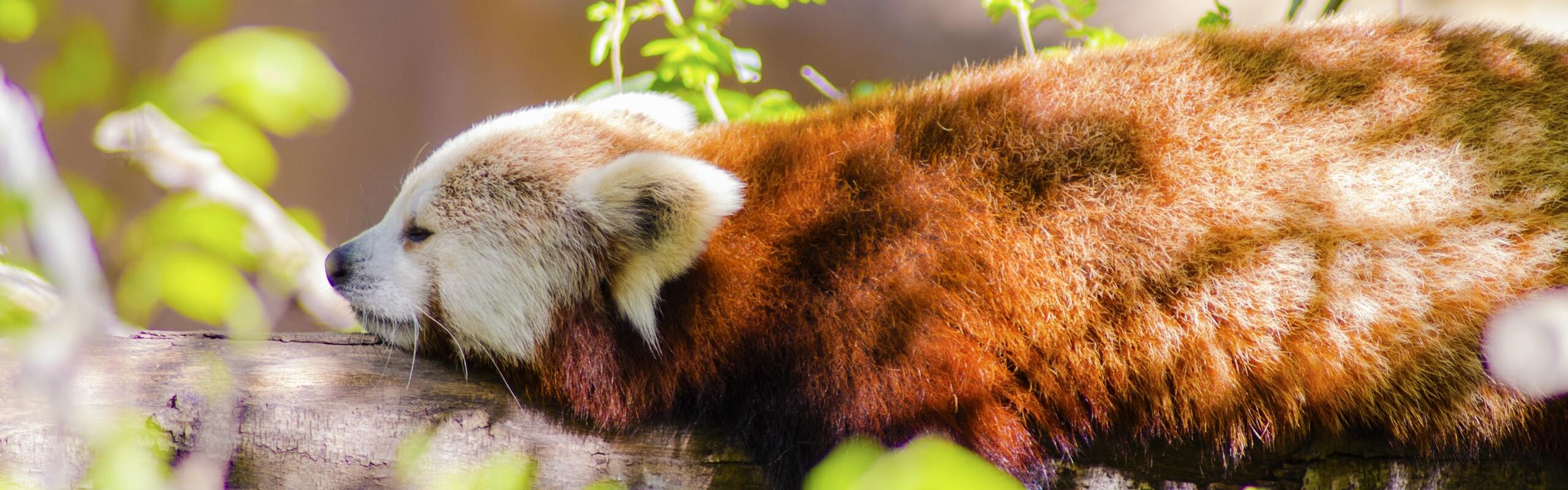 2-Day Wolong Red Panda Volunteer Program Tour