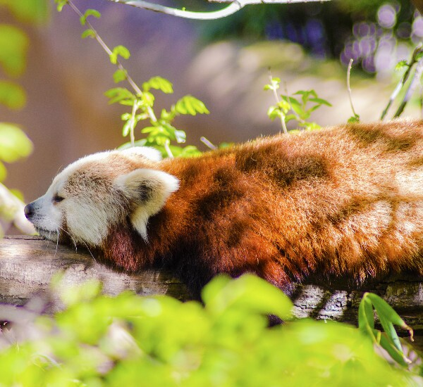 Red panda keeper tour