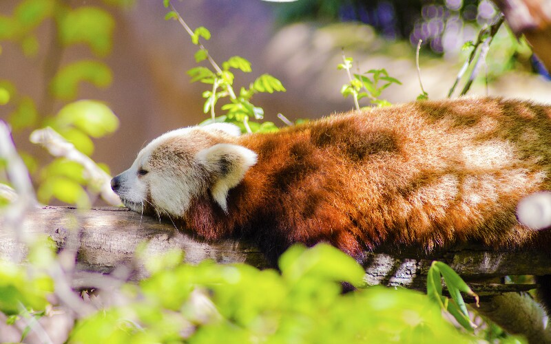 20 Things You Won't Know about Red Pandas