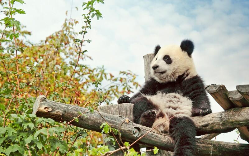 Giant Pandas Life Cycle