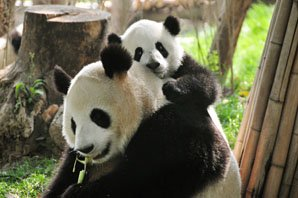 How to Plan a Giant Panda Tour