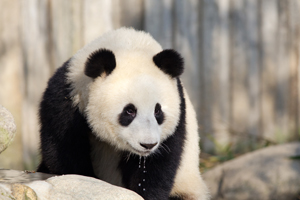 Giant Pandas Behavior — What Do They Do All Day